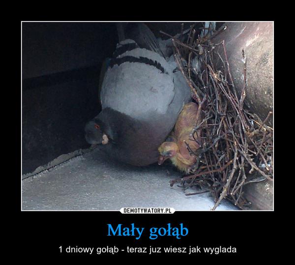 Mały gołąb – 1 dniowy gołąb - teraz juz wiesz jak wyglada