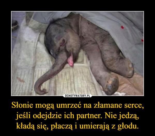 Słonie mogą umrzeć na złamane serce, jeśli odejdzie ich partner. Nie jedzą, kładą się, płaczą i umierają z głodu. –
