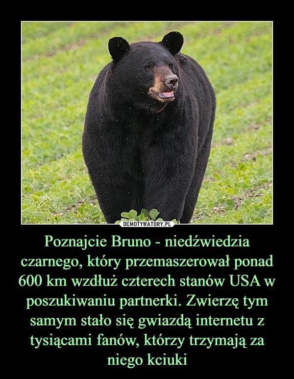 Poznajcie Bruno - niedźwiedzia czarnego, który przemaszerował ponad 600 km wzdłuż czterech stanów USA w poszukiwaniu partnerki. Zwierzę tym samym stało się gwiazdą internetu z tysiącami fanów, którzy trzymają za niego kciuki –