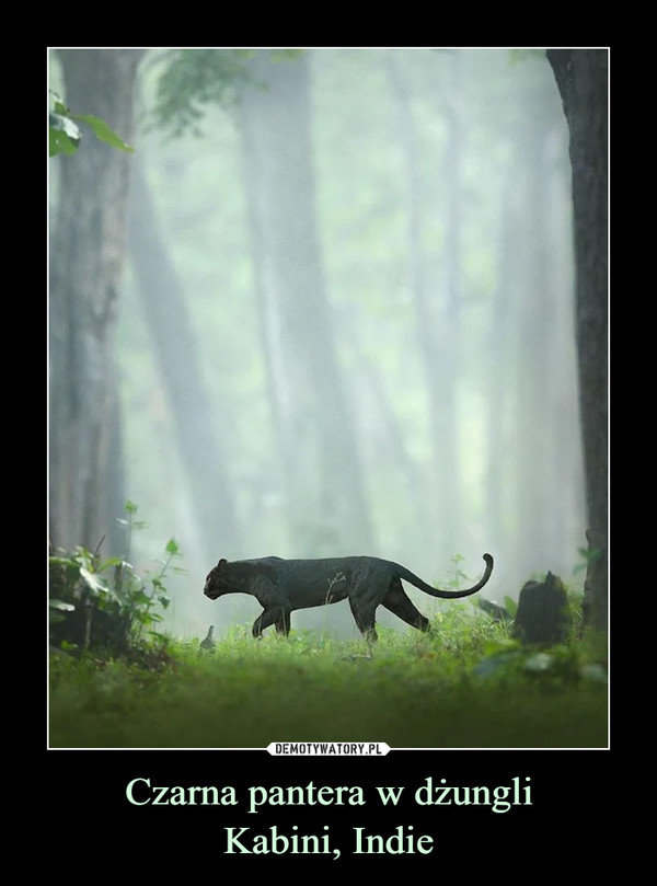Czarna pantera w dżungliKabini, Indie –