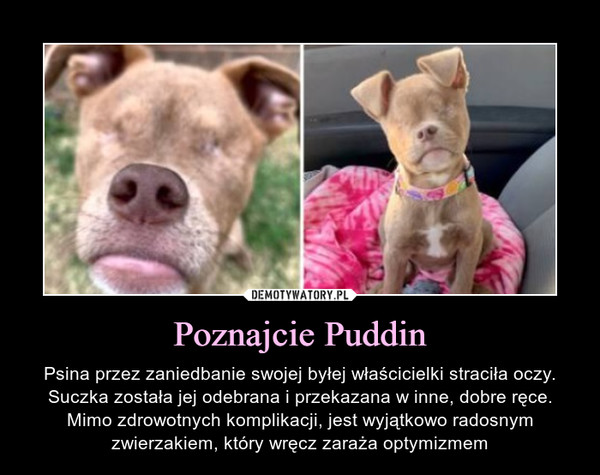 Poznajcie Puddin – Psina przez zaniedbanie swojej byłej właścicielki straciła oczy. Suczka została jej odebrana i przekazana w inne, dobre ręce. Mimo zdrowotnych komplikacji, jest wyjątkowo radosnym zwierzakiem, który wręcz zaraża optymizmem