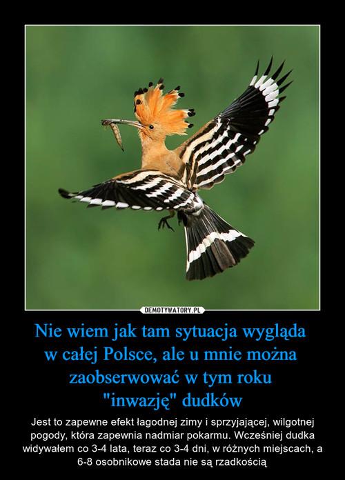 """Nie wiem jak tam sytuacja wygląda  w całej Polsce, ale u mnie można  zaobserwować w tym roku  """"inwazję"""" dudków"""