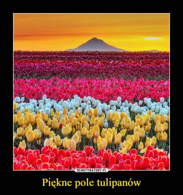 Piękne pole tulipanów –