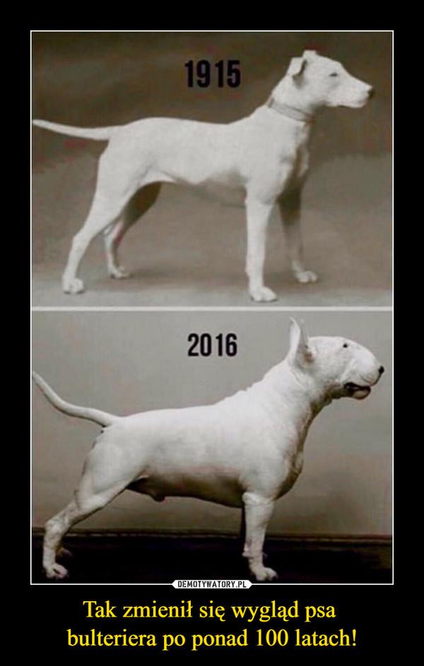 Tak zmienił się wygląd psa bulteriera po ponad 100 latach! –