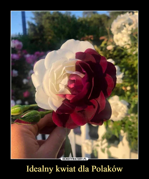 Idealny kwiat dla Polaków –