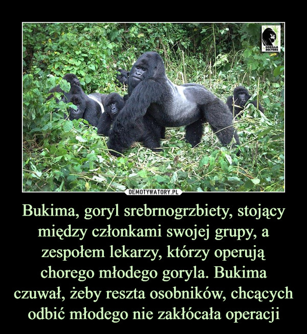 Bukima, goryl srebrnogrzbiety, stojący między członkami swojej grupy, a zespołem lekarzy, którzy operują chorego młodego goryla. Bukima czuwał, żeby reszta osobników, chcących odbić młodego nie zakłócała operacji –