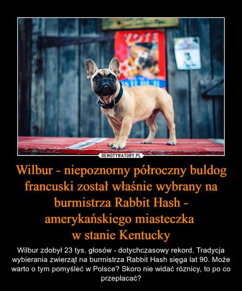Wilbur - niepoznorny półroczny buldog francuski został właśnie wybrany na burmistrza Rabbit Hash - amerykańskiego miasteczka  w stanie Kentucky