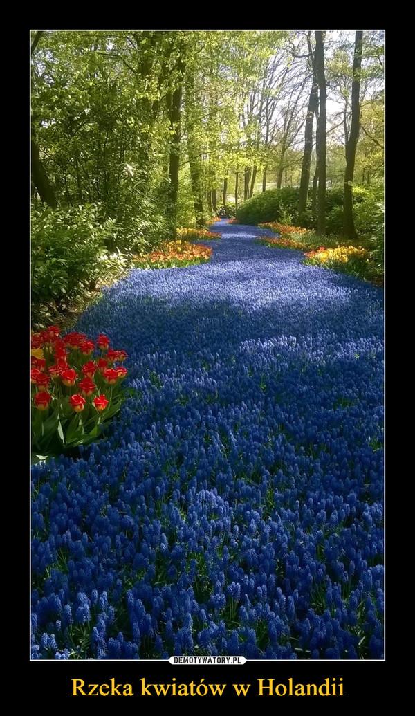 Rzeka kwiatów w Holandii –