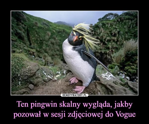 Ten pingwin skalny wygląda, jakby pozował w sesji zdjęciowej do Vogue –
