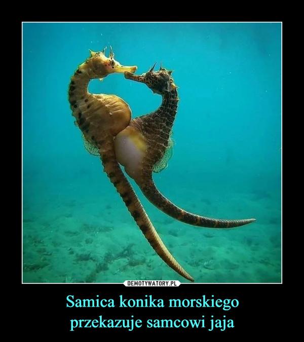 Samica konika morskiegoprzekazuje samcowi jaja –
