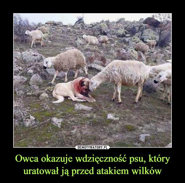 Owca okazuje wdzięczność psu, który uratował ją przed atakiem wilków –