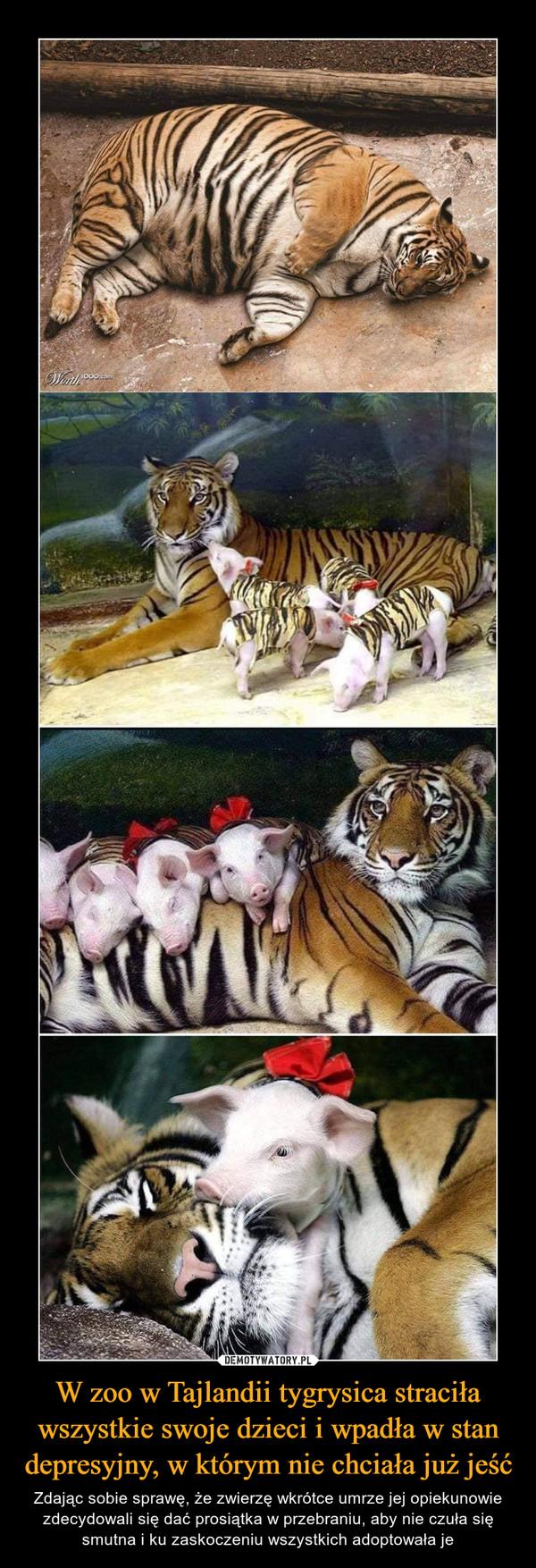 W zoo w Tajlandii tygrysica straciła wszystkie swoje dzieci i wpadła w stan depresyjny, w którym nie chciała już jeść – Zdając sobie sprawę, że zwierzę wkrótce umrze jej opiekunowie zdecydowali się dać prosiątka w przebraniu, aby nie czuła się smutna i ku zaskoczeniu wszystkich adoptowała je