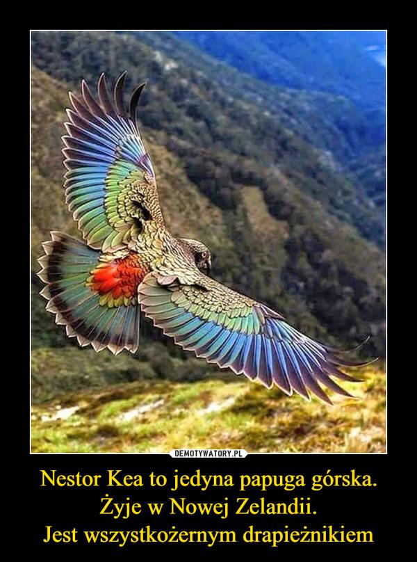 Nestor Kea to jedyna papuga górska. Żyje w Nowej Zelandii.Jest wszystkożernym drapieżnikiem –