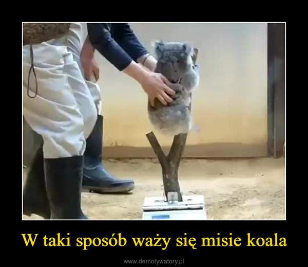 W taki sposób waży się misie koala –