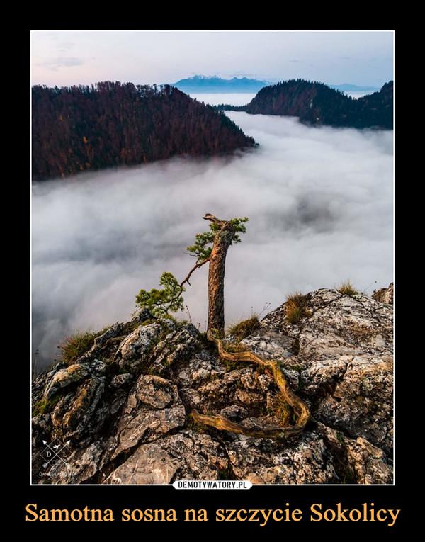 Samotna sosna na szczycie Sokolicy –