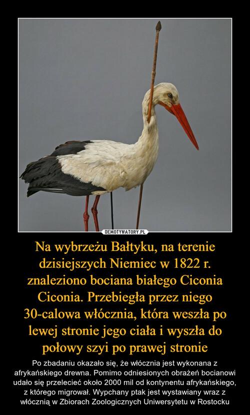 Na wybrzeżu Bałtyku, na terenie dzisiejszych Niemiec w 1822 r. znaleziono bociana białego Ciconia Ciconia. Przebiegła przez niego 30-calowa włócznia, która weszła po lewej stronie jego ciała i wyszła do połowy szyi po prawej stronie
